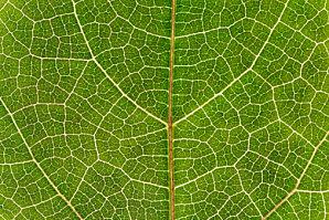De la chlorophylle pour purifier l'organisme